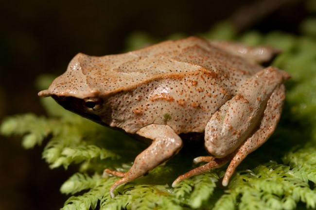 Why Darwin's mouth-brooding frogs are vanishing