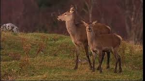 Bambi Needs a Bullet, Say Scientists