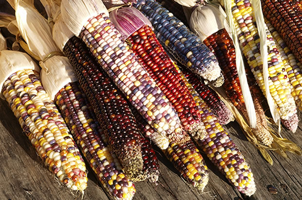 Thanksgiving Corn Farm: Thanksgiving Meals Should Omit Corn