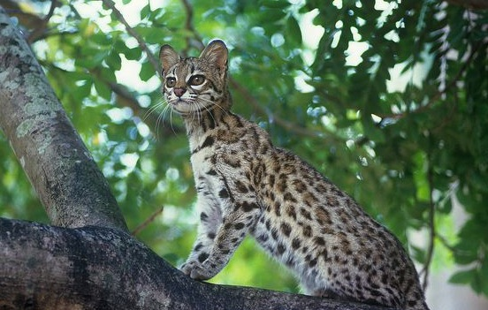 South America, wIldcat, oncilla