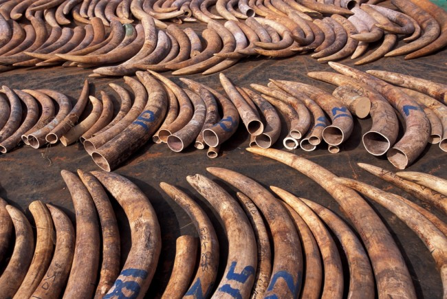 Confiscated ivory stockpiles were authroized in a symbolic notion to be crushed by the Obama administration