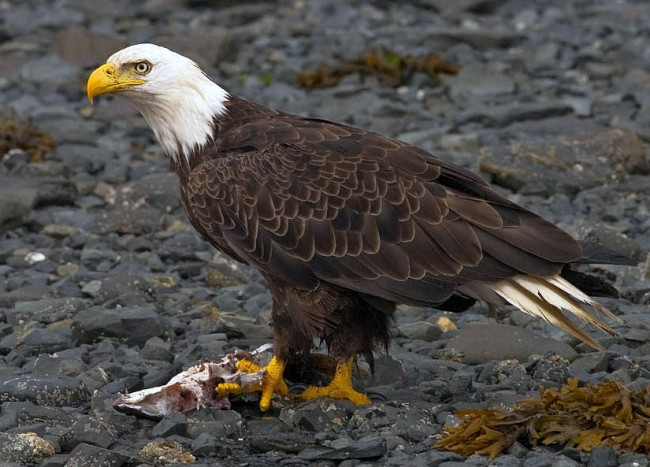 u.s., utah, bald eagle, dying