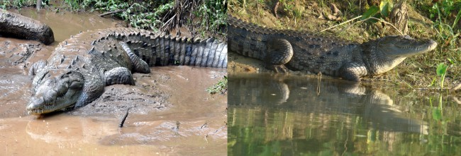 American crocodile versus the mugger crocodile