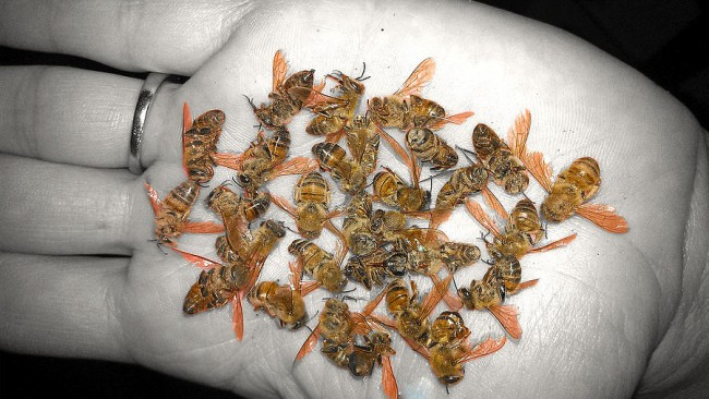 Bees killed from insecticide