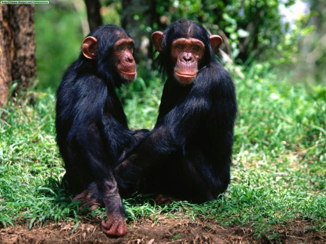 Chimpanzees Lawsuit Could Turn Them Into Legal Persons