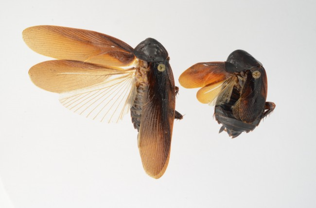 Cockroach Periplaneta japonica male & female