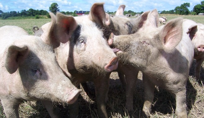 David Cameron to Ship Pig Semen in Multi-Million Pound Deal with China