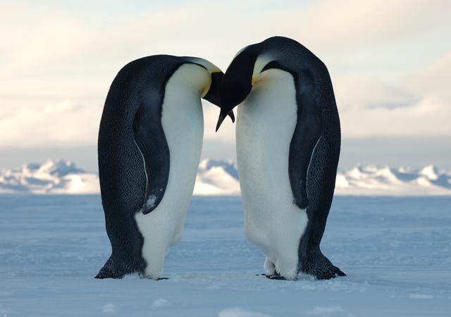 Emperor penguins, dance, science, animals