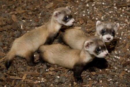 Endangered Species Act and the Black Footed Ferret