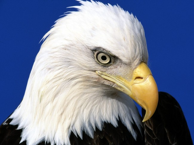 Endangered Species Act's Bald Eagle