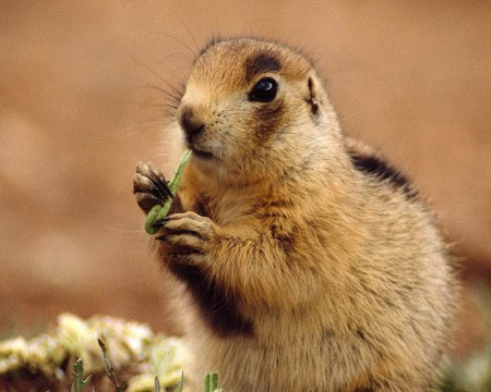 Endangered Species Act prairie dog