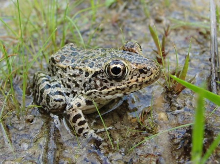 Endangered Species Act protects the dusky gopher frog