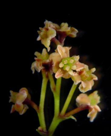 Image of Amborella plant1