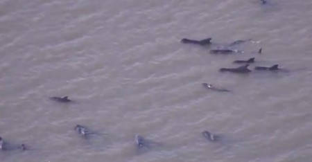 Pilot whales stranded on beach