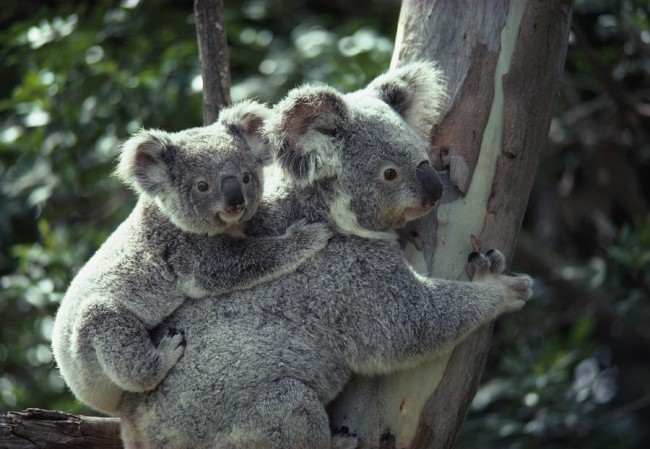 koala, koala bear, sex organ, world, health