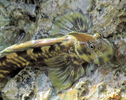 Pacific leaping blenny Has No Legs yet Leaps