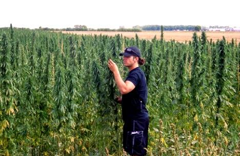 Cannabis Sativa L. Hemp Cash Crop