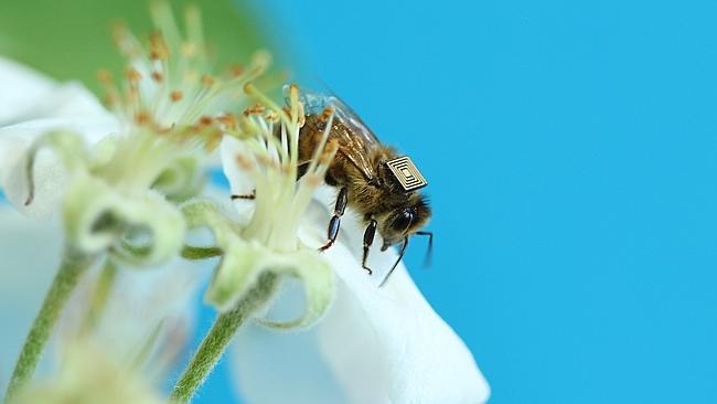 science, honeybees, microchip, australia