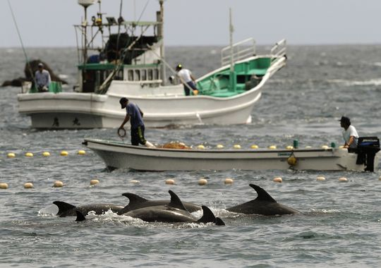world, japan, dolphin, hunt, cove
