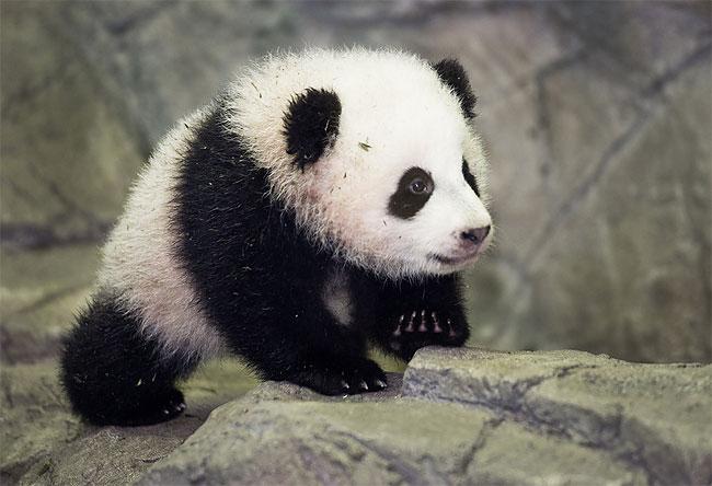 Washington, u.s., washington zoo, panda cub