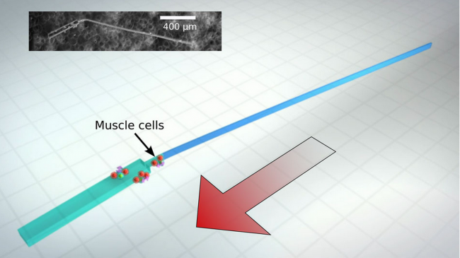 Bio-Bot That Swims With Heart Cells Debuted