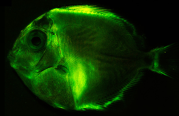 Biofluorescent fish widespread according to study