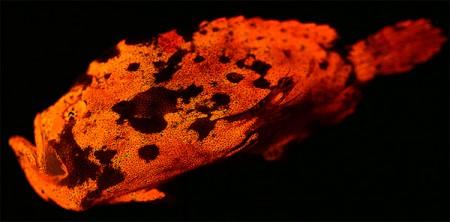 Biofluorescent frogfish (Antennarius maculatus)