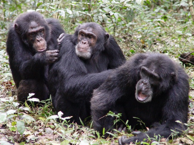 Chimpanzee gestures aid in communication for foraging food