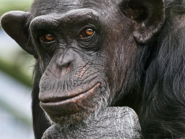 Chimpanzees, talk, science