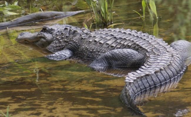 Crocodile Strikes Boy Missing