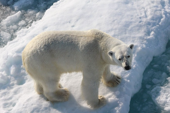 Diet of Polar Bears Shifting in Response to Increase in Melting of Sea Ice