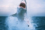 Great White Sharks Life Span Proven Due to Nuclear Bombs