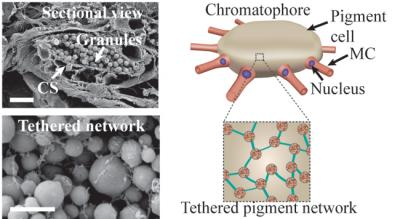 Internal structure of chromatophores showing nanostructures inside the cells
