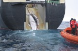 Whalers in Japan Chased by Activists: 'Bloody, Medieval Scene'