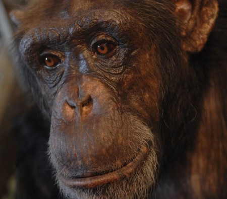 Panzee one of the chimp participants of the study
