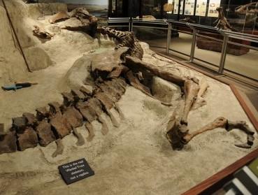 T rex death pose
