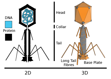 Structure of a typical phage