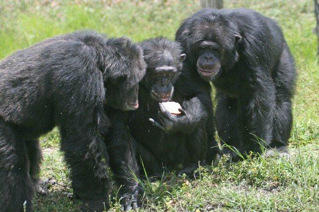 chimpanzees share food