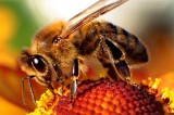Zombie Bees Invade Vermont for the First Time