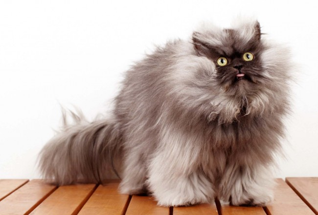 Colonel Meow Dead at Two