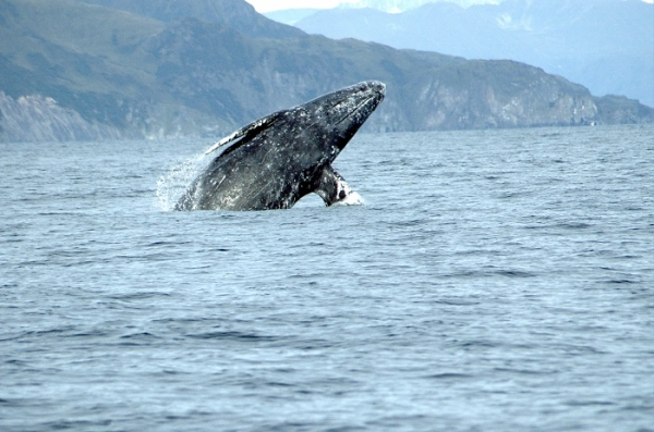 science, gray whales, conjoined, calves
