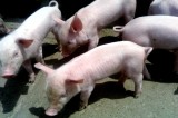 Pig Virus Expands During Snowfall