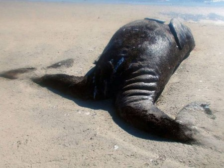 The conjoined gray whale calves