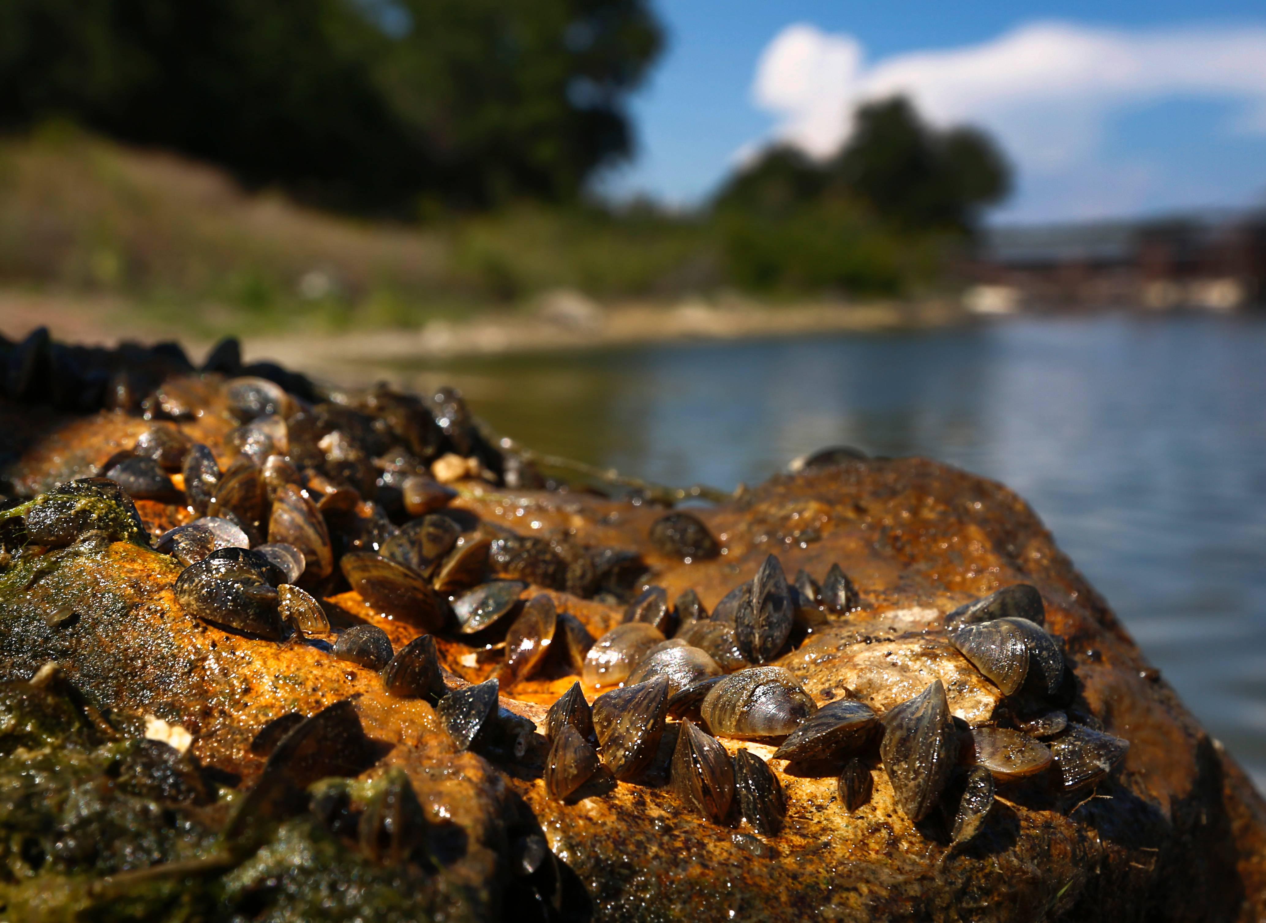 Lake Powell, Alien Species, Quagga Mussel