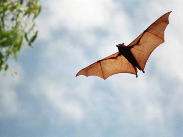 Bat Biology Used as Model for Robotic Flight