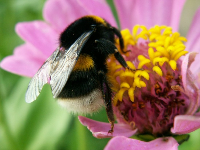 Bees Collecting Less Pollen Due to Exposure to Pesticides