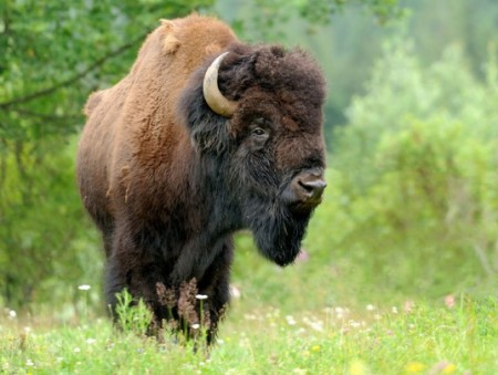 Yellowstone National Park Bison Brucellosis