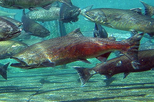 Chinook salmon sense direction using magnetic map