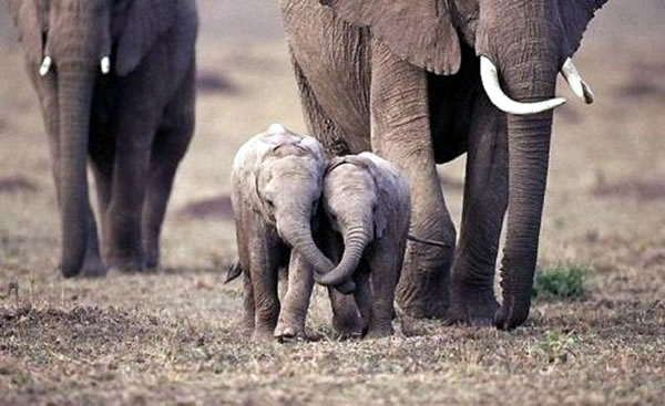 Elephant Families Stick Together