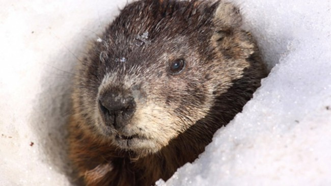 Groundhog-Day-Prediction-Both-Right-and-Wrong-650x365.jpg (650×365)